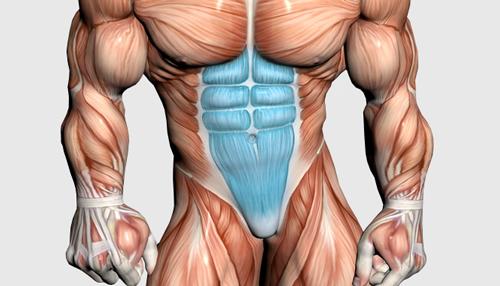 عضلات تنه و شکم
