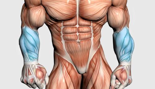 عضلات مچ و ساعد