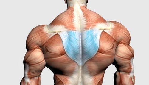 عضلات میانی پشت