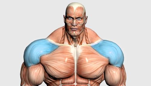 عضلات سرشانه