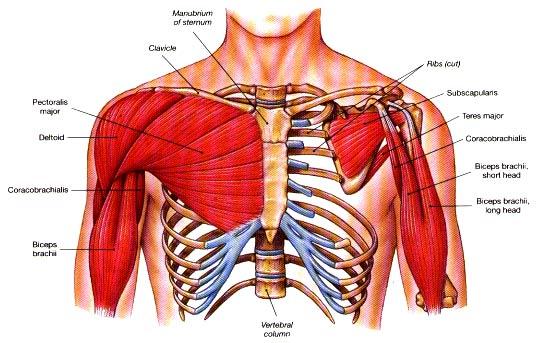 عکس چگونه سینه هایی حجیم و زیبا بسازیم