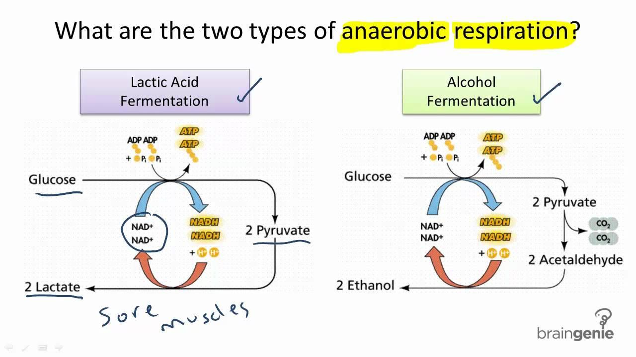 عکس چگونه میزان ساخت اسید لاکتیک در عضلات را کاهش دهیم