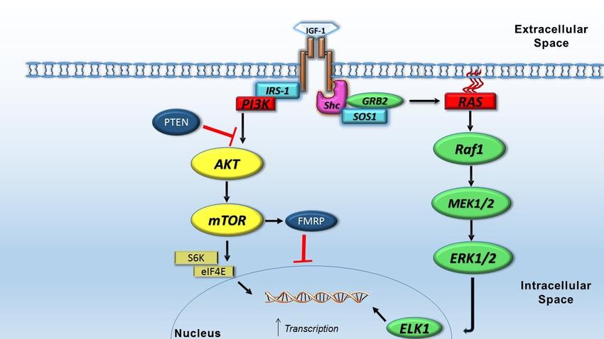 عکس مزایا و عوارض جانبی احتمالی IGF-1