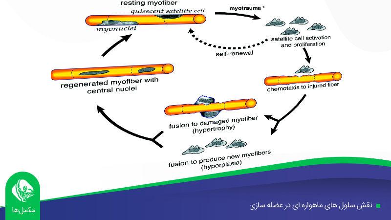 نقش سلول های ماهواره ای در عضله سازی