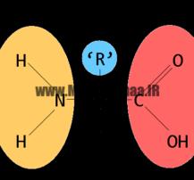 آمینو اسیدهای ضروری وغیر ضروری,بدنسازی , پرورش اندام,آمینو اسید,آمینو اسید برای بدنسازی,انواع آمینو اسید,آمینو اسید های زروری,مقالات بدنسازی